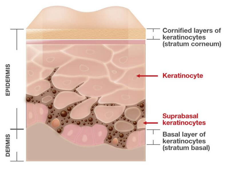 Skin Layers – Welcome to CLINUVEL