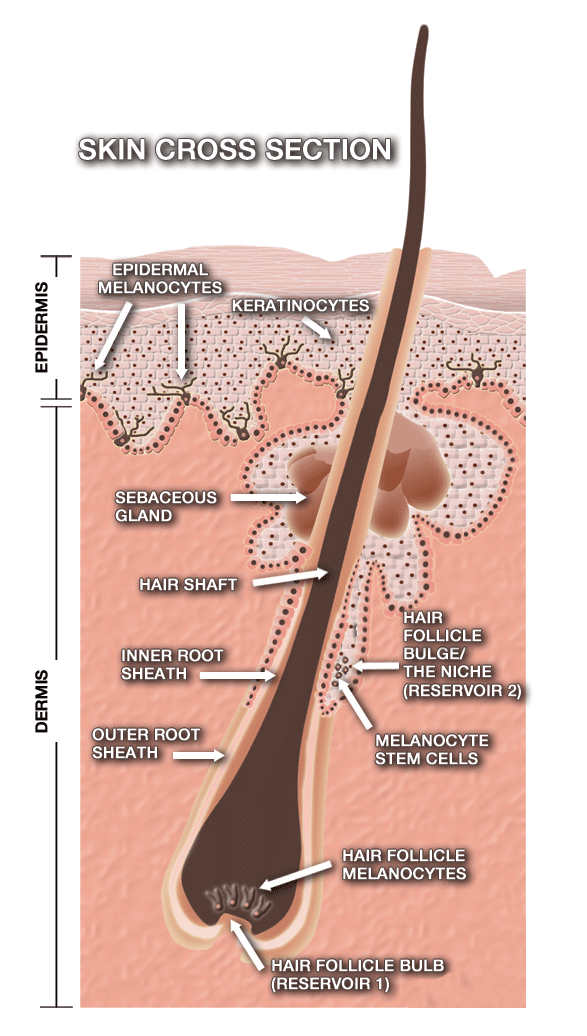 Stem Cells and Repigmentation in Vitiligo – Welcome to CLINUVEL