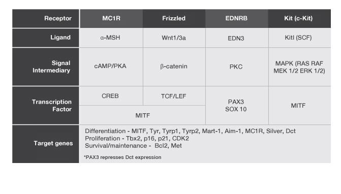 Figure 2: Melanocyte signaling pathways