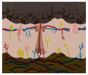 Skin Layers - dermis (not to scale)