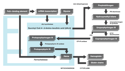 Haem Synthesis Pathway Porphyria Cutanea Tarda