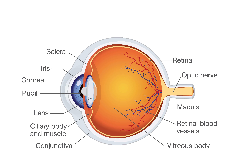 Human eye web