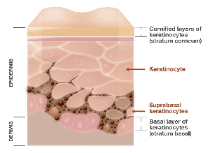 A cross section of skin highlighting the epidermis and dermis (not to scale)