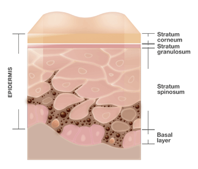 Figure 1. A schematic diagram of the epidermis. The right side shows the skin layers, including the stratum spinosum and the stratum basale (basal layer) where vitamin D3 is synthesized through the action of sunlight on membrane lipids.