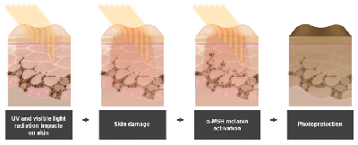 Skin cross sections illustrating photoprotection