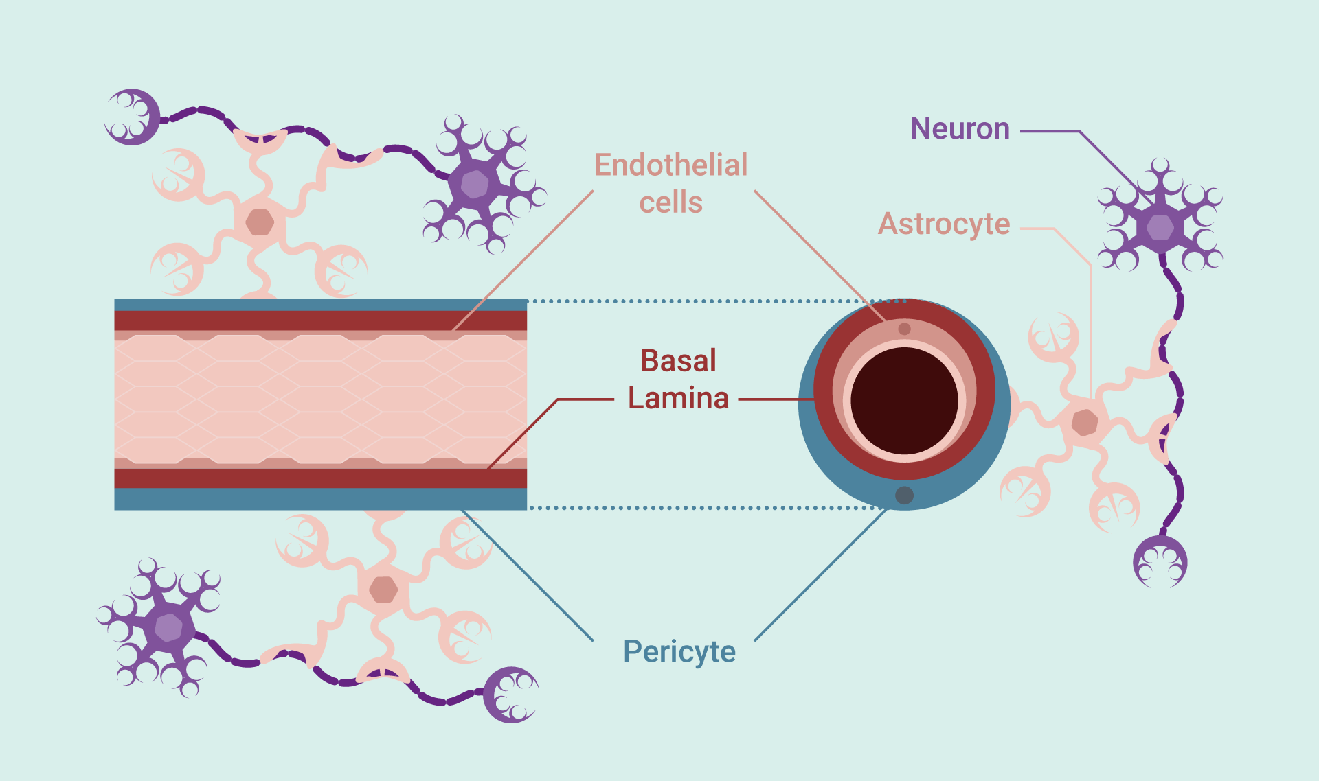 Blood brain barrier cross section