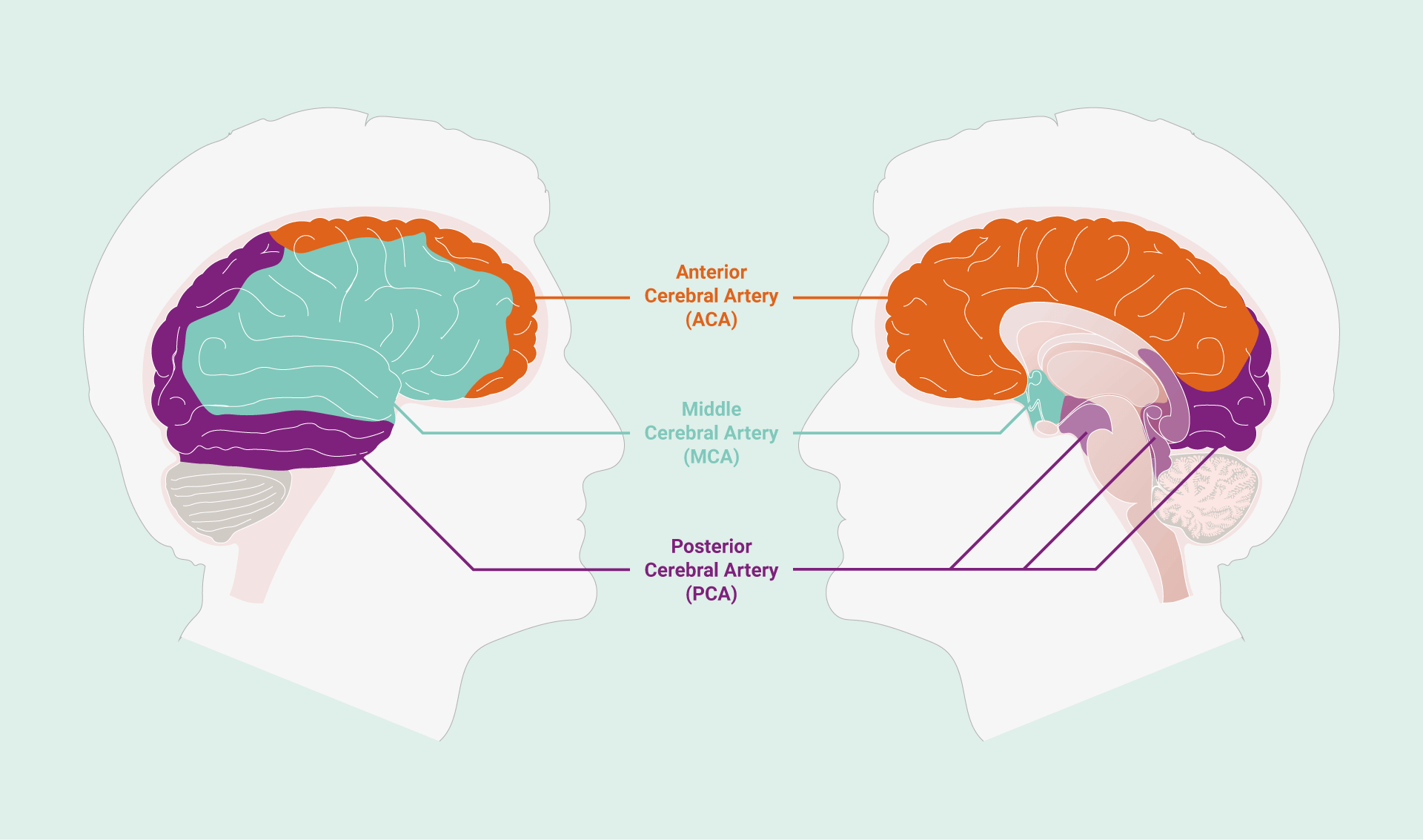 Areas of the brain supplied by the three paired cerebral arteries