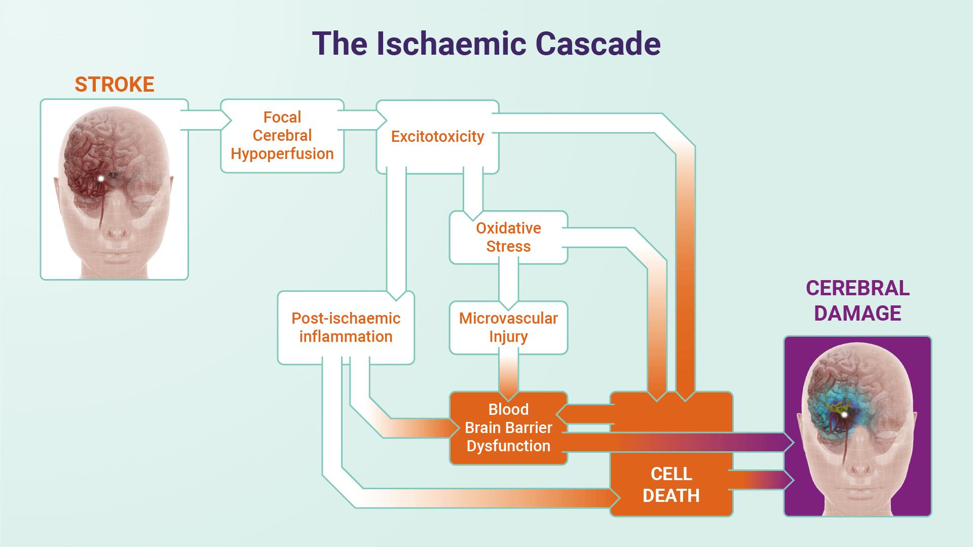 The Ischaemic Cascade